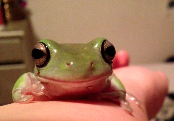 Albero, a White's tree frog (Litoria caerulea), climbing up my arm.
