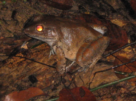 Tapetum lucidum causes eyeshine in animals such as frogs. Photo credit: http://www.travelblog.org/Photos/4247149